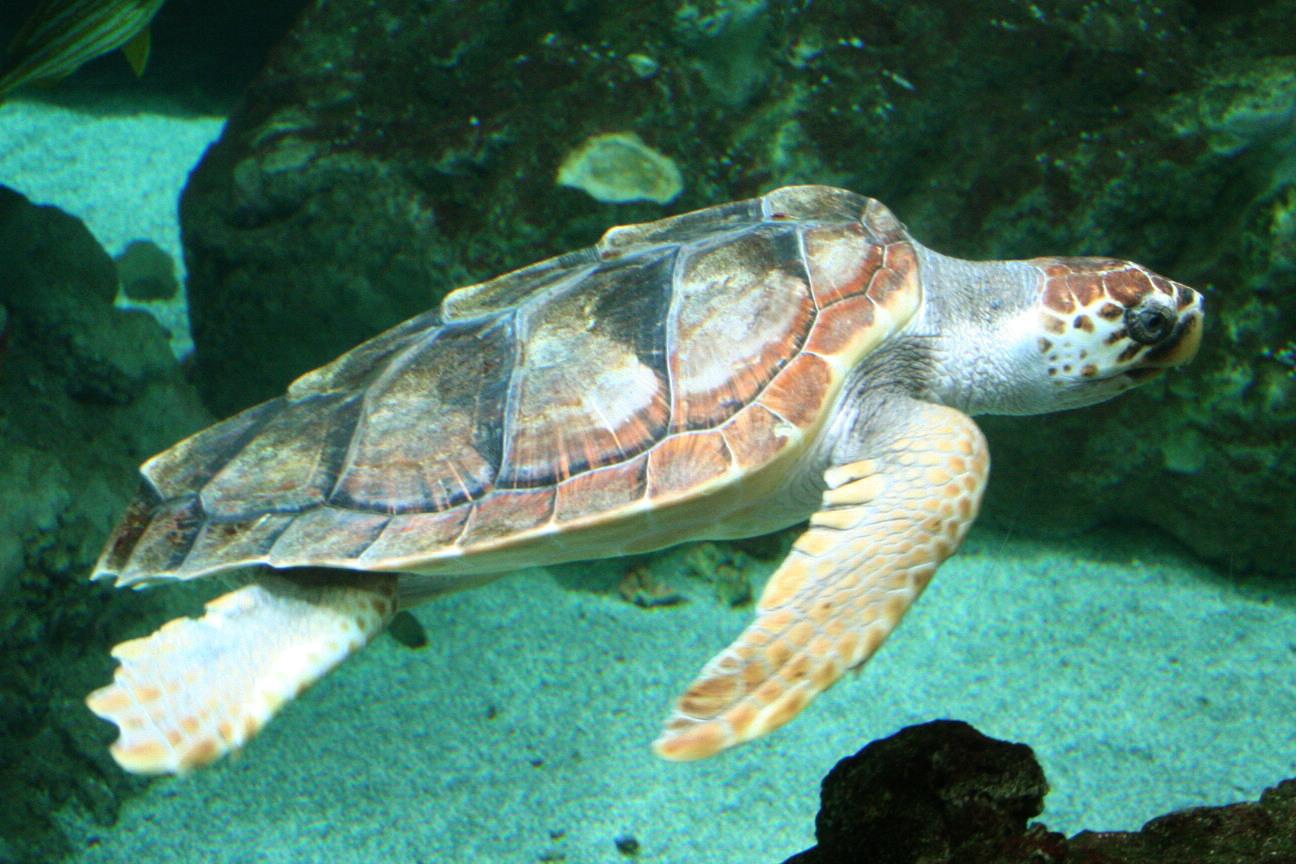 Zeeschildpad Wijkermeer Witte Oliphant